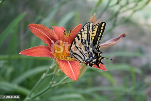 This beautiful butterfly suckles a lily flower in a garden in Montana.