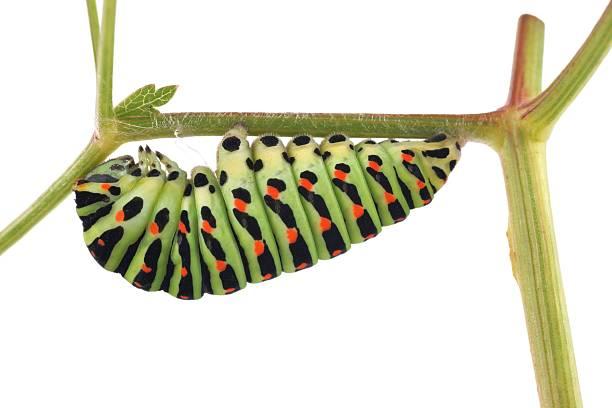 Old world swallowtail butterfly caterpillar picture id168627436?b=1&k=6&m=168627436&s=612x612&w=0&h=c7aippohwk1klgw8cy0gqp4vnvohac691kka f3n4c8=