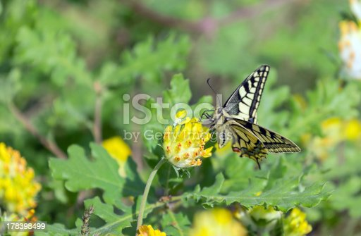 The Old World Swallowtail (Papilio machaon) is a butterfly of the family Papilionidae. The butterfly is also known as the common yellow swallowtail or simply the swallowtail (a common name applied to all members of the family).