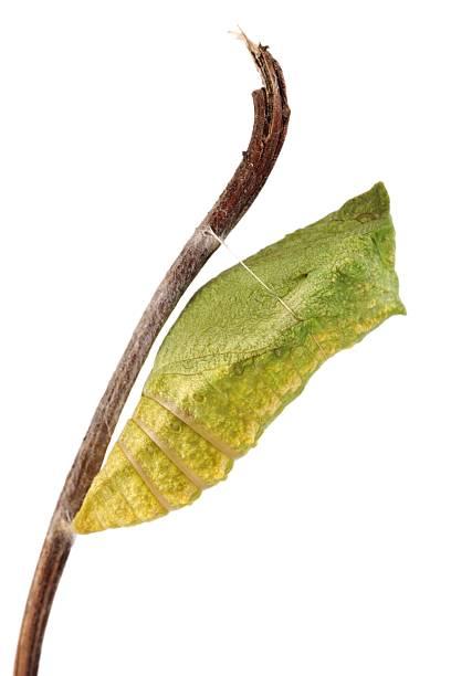 산호랑나비 (papilio machaon) 나비, chrysalis - 누에고치 뉴스 사진 이미지