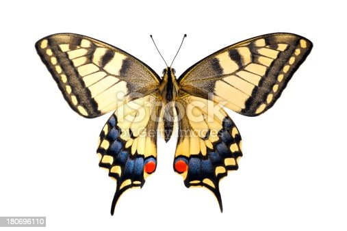Old World Swallowtail (Papilio machaon) butterfly on a white background