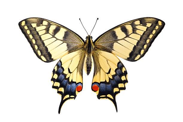 Old world swallowtail butterfly on a white background picture id180696110?b=1&k=6&m=180696110&s=612x612&w=0&h=smanjat1ymlmjrnaozhxj5gtgm fnr8hija5g8acs5w=