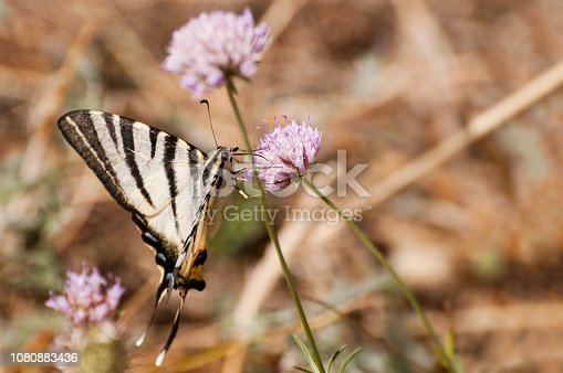 Old world swallowtail butterfly also known as common yellow swallowtail on pink blossom of brown knapweed, Papilio machaon.