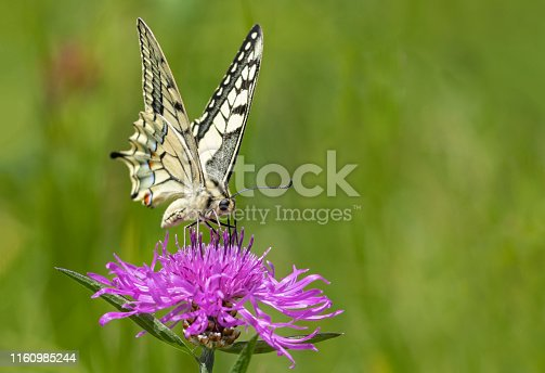Old world swallowtail butterfly sucking on brownray knapweed.