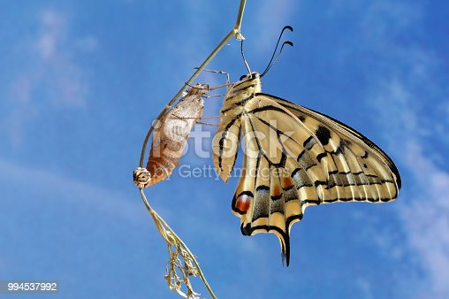 old world swallowtail coming out of the chrysalis