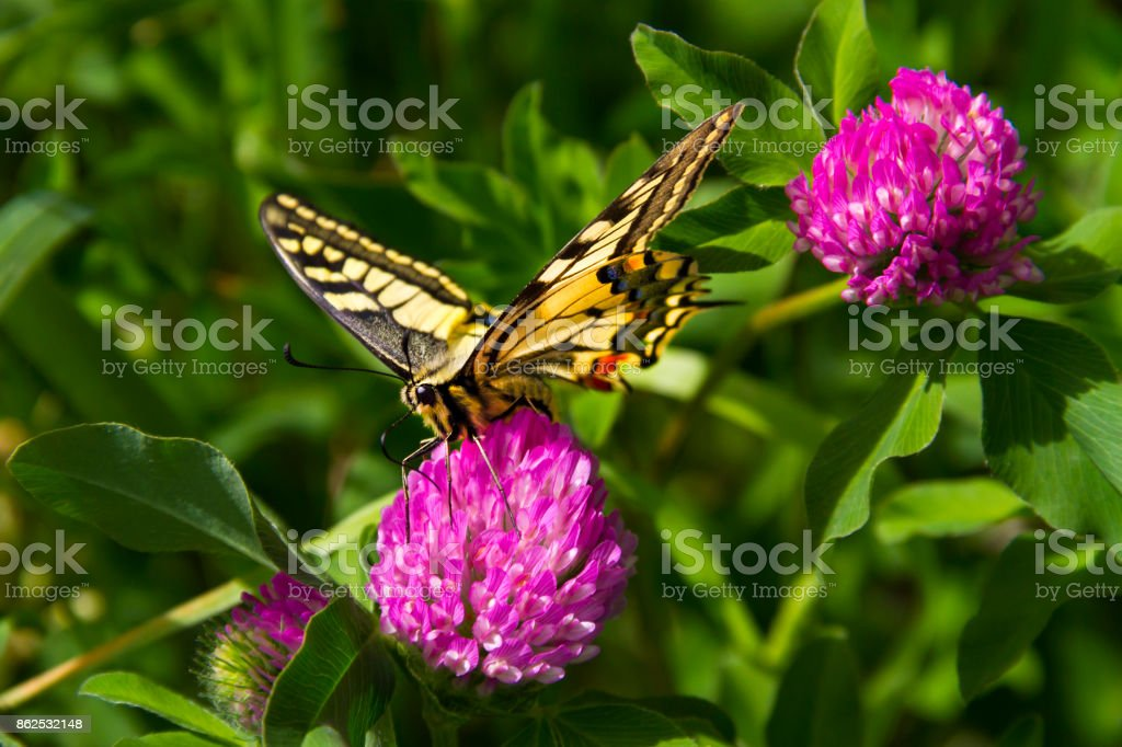 Old World Swallowtail on a Pink Flower stock photo
