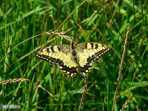 Old World Swallowtail, papilio machaon butterfly in wildlife nature