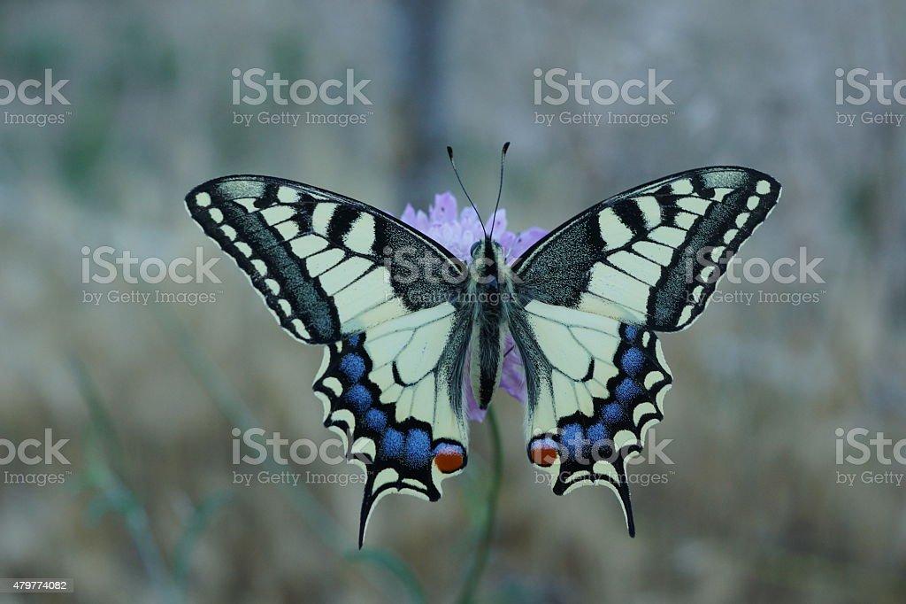 Old world swallowtail, Papilio machaon stock photo