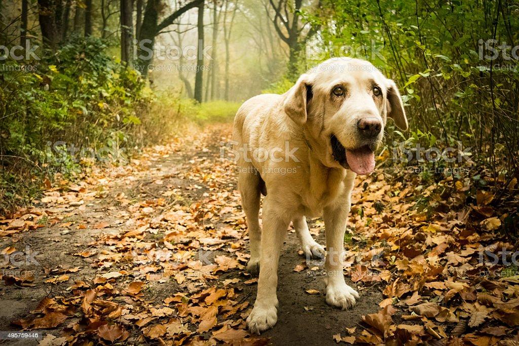 Stary Biszkoptowy Labrador w jesiennym – zdjęcie