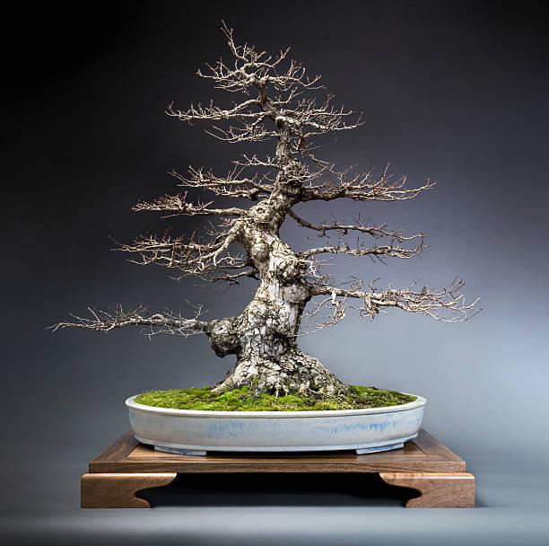 Alte Japanische Zelkove bonsai-Tisch – Foto