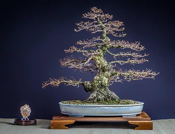 Old Zelkova Tree Bonsai – Foto