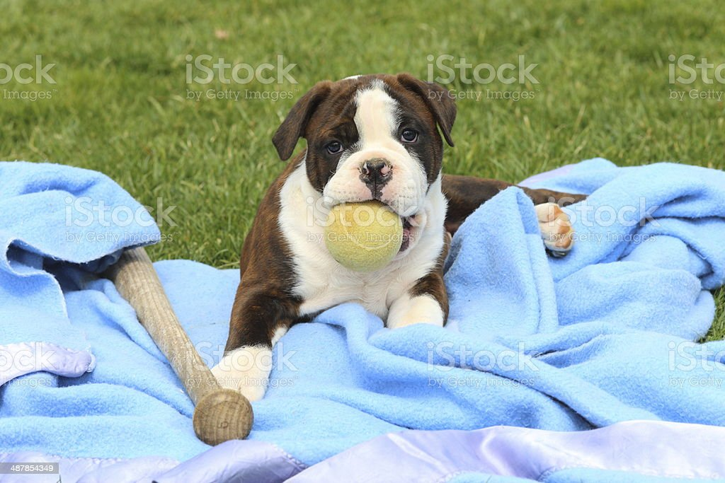 An adorable Olde English Bulldogge puppy sits on a blanket with a...