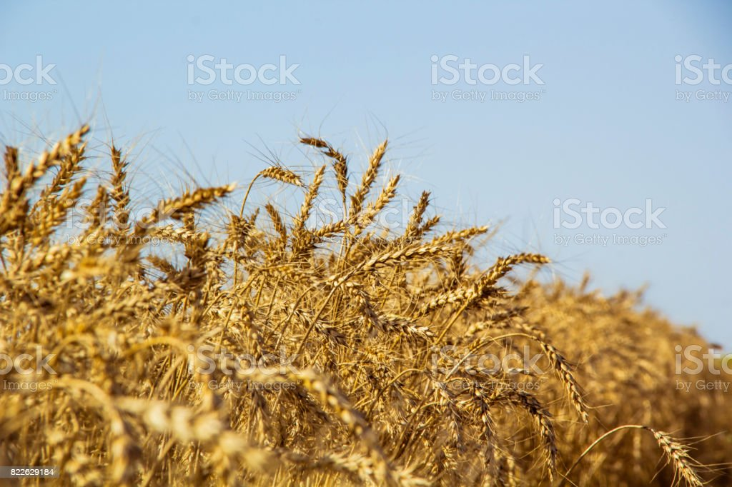 olden wheat field and sunny day stock photo