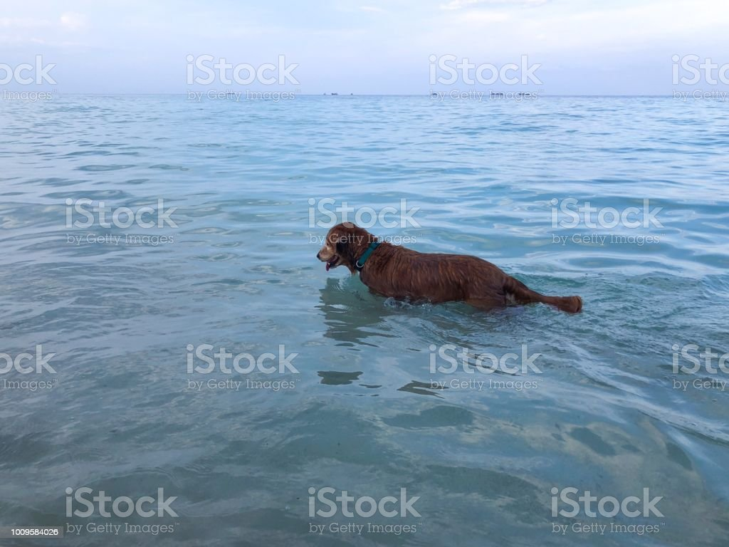 Older dog enjoying an exploratory walk looking for fish in the...