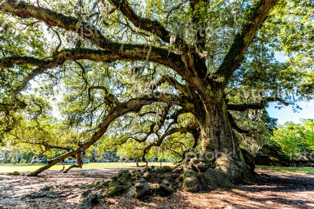 Oldest southern live oak in New Orleans Audubon park on sunny day...