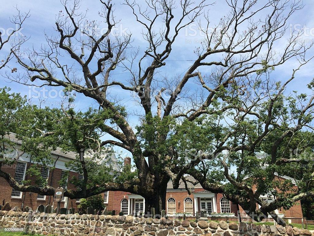 Oldest White Oak in Northern Hemisphere stock photo
