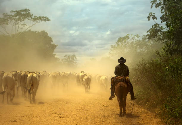 Oldfashioned cowboy at cattle drive. Pantanal wetlands, Brazil South-american traditional cowboy at cattle drive. Pantanal wetlands, Mato Grosso do Sul state, Brazil. World Nature Heritage site and Biosphere Reserve. herding stock pictures, royalty-free photos & images