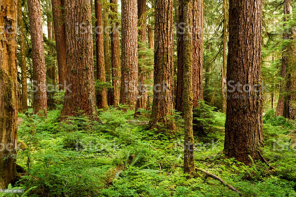 Old-Growth Trees Emerge Out of the Lush Green Forest Floor stock photo