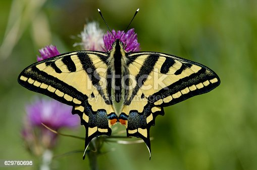Oldworld Swallowtail (Papilio machaon) butterfly on a purple flower