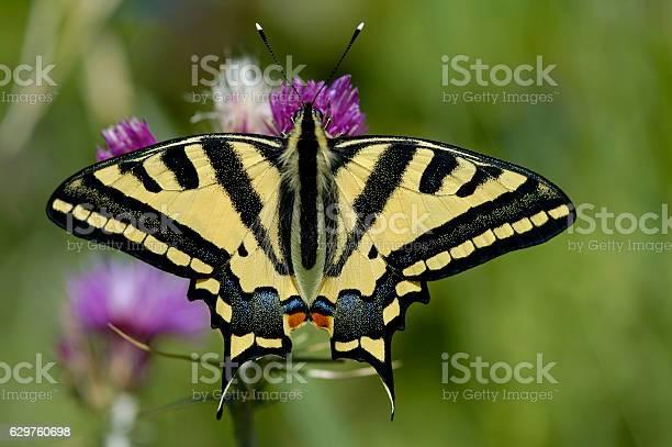 Oldworld swallowtail picture id629760698?b=1&k=6&m=629760698&s=612x612&h=rbdmlxnd7ql8oxjesyyms5igg95ainfxdmxv13ctbk4=