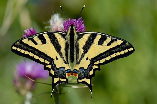 Oldworld Swallowtail (Papilio machaon) stock photo