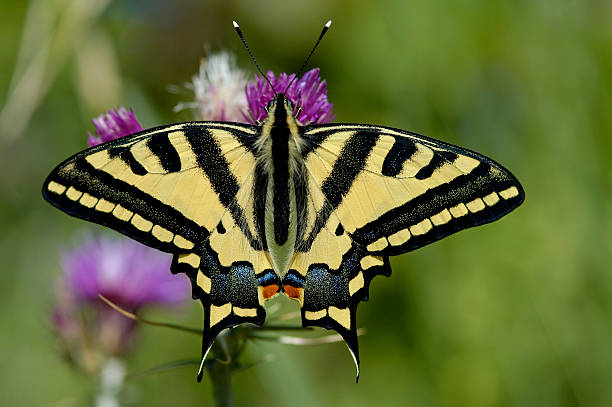 Oldworld Swallowtail (Papilio machaon) stock photo