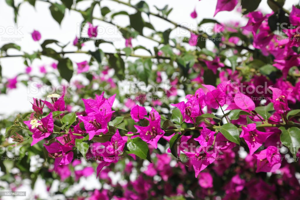 Oleander - beautiful but poisonous flower stock photo