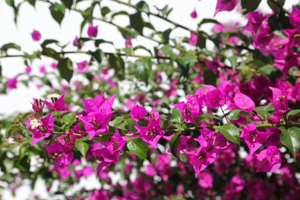 oleander - beautiful but poisonous flower - pejft stock photos and pictures