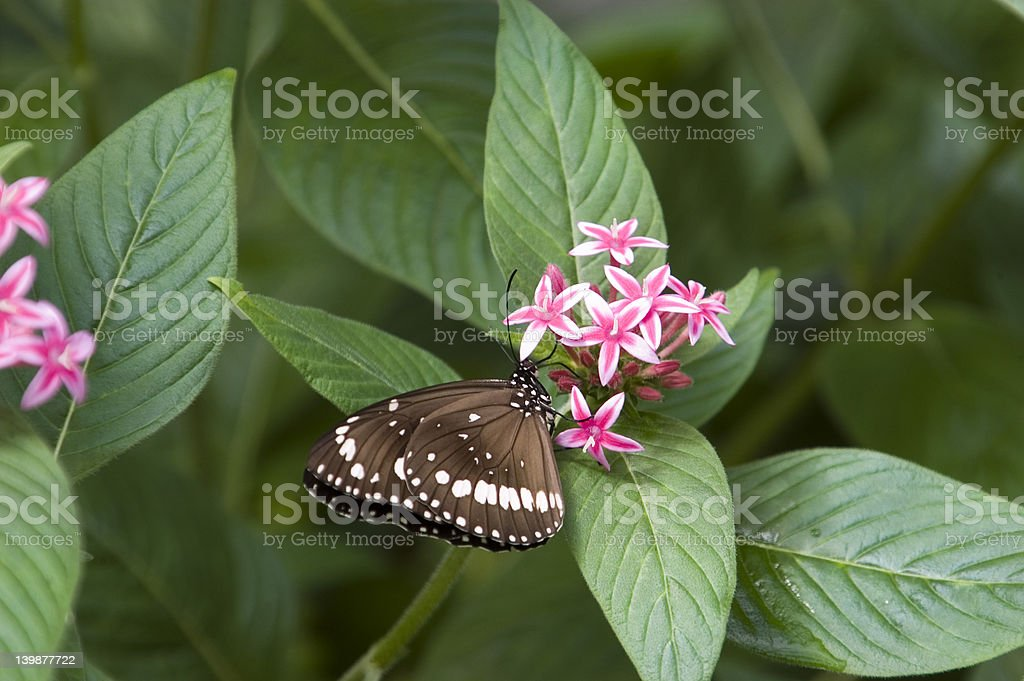 Oleander Butterfly stock photo