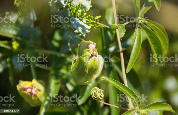 Oleander flower bud burgundy close to the cypress in the garden picture id933454172?b=1&k=6&m=933454172&s=612x612&h=25 3uri3sxje6 21yfcjdxfdctps4q9jdfi clc9kry=
