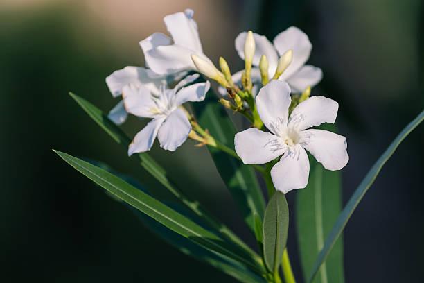 Oleander flower圖像檔
