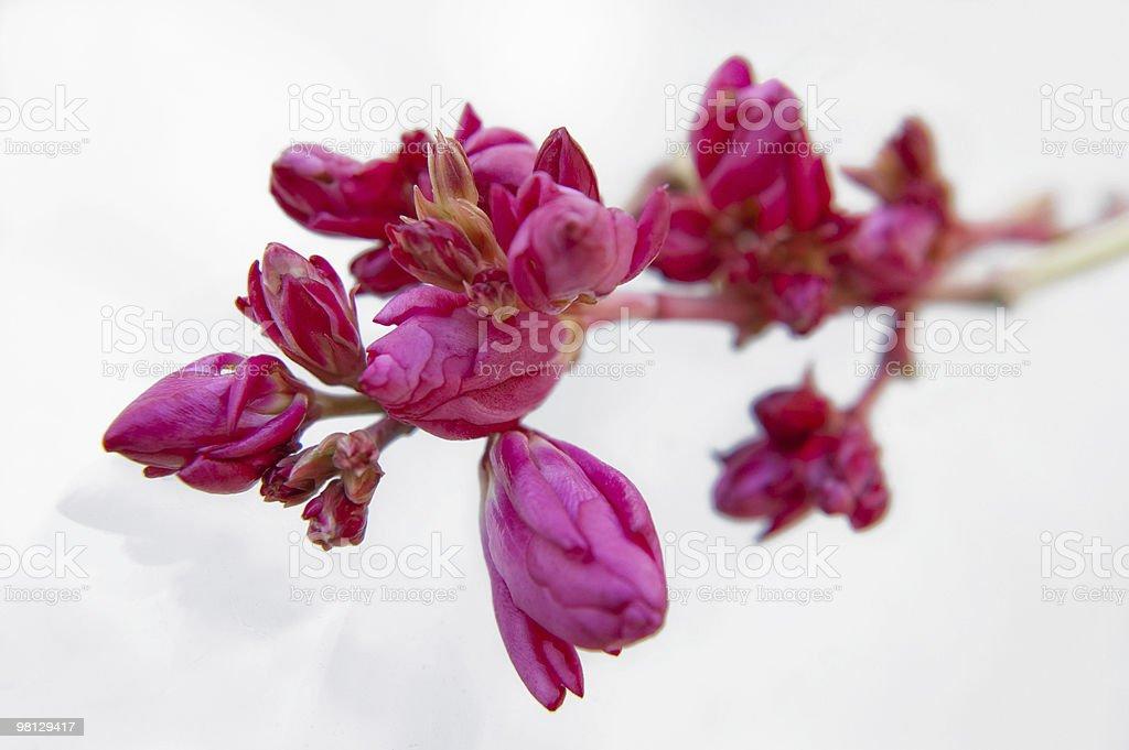 Oleander flower royalty-free stock photo