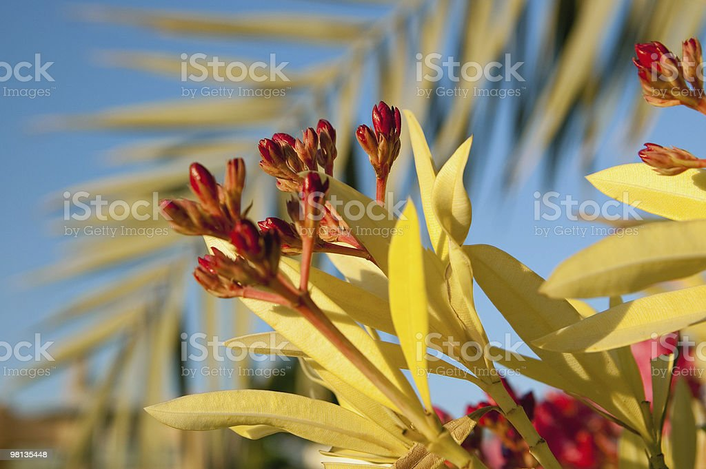 Oleander flowers front of blue sky royalty-free stock photo