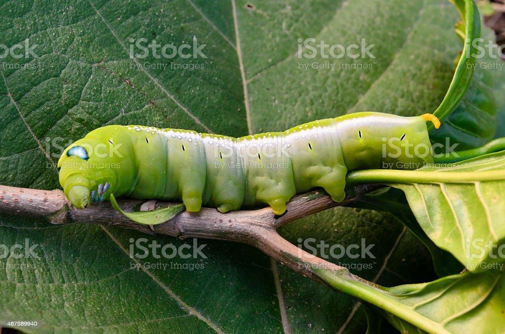 Oleander Hawk-moth Caterpillar stock photo