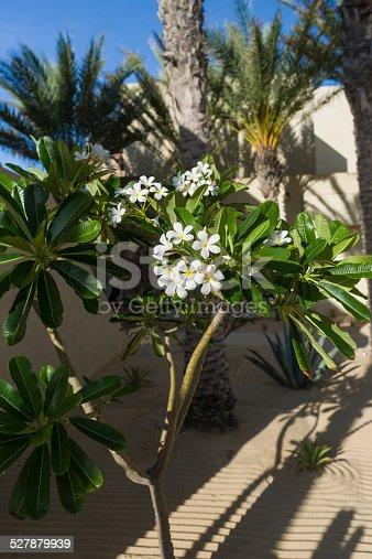 istock Oleander in a Desert Garden 527879939