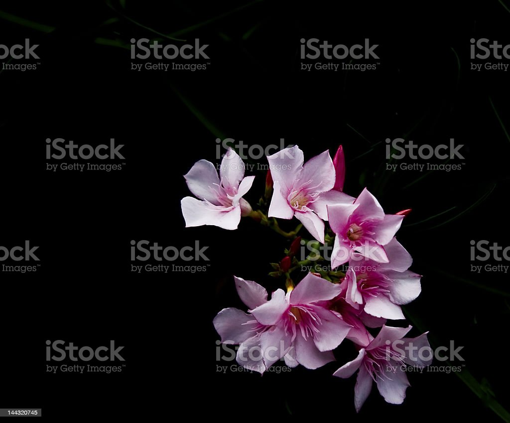 Oleander Inflorescensce against black stock photo