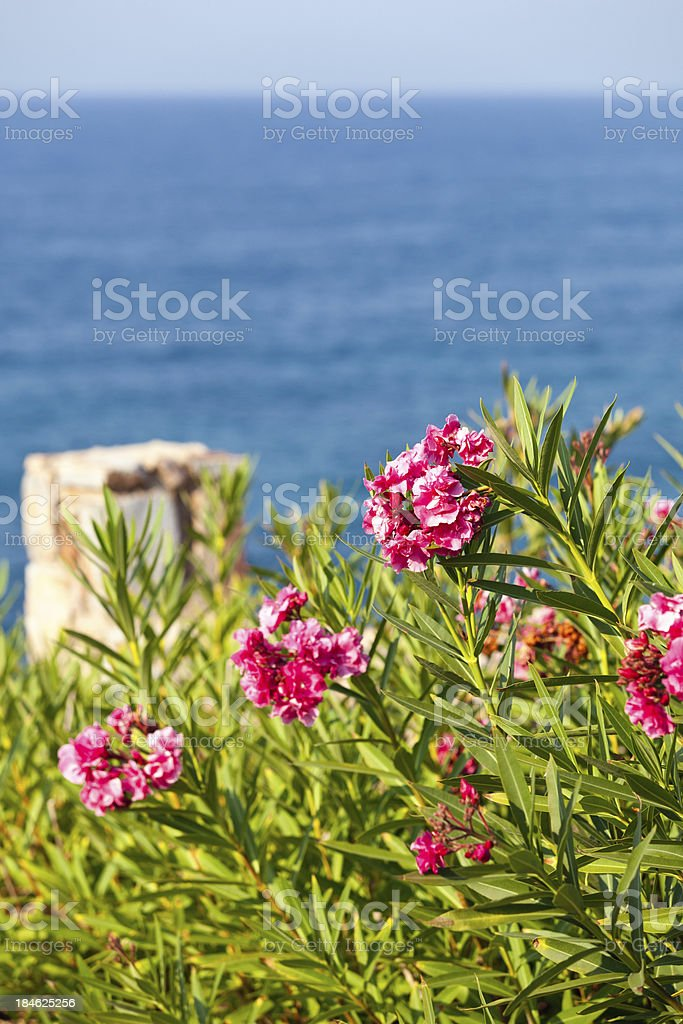 Oleander royalty-free stock photo