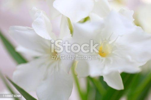 oleander white flowers