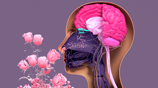 Olfactory system, sensory system used for smelling, olfaction  senses. Components of the olfactory system.