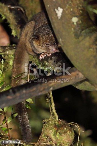 Olinguito (Bassaricyon neblina) sitting on branch