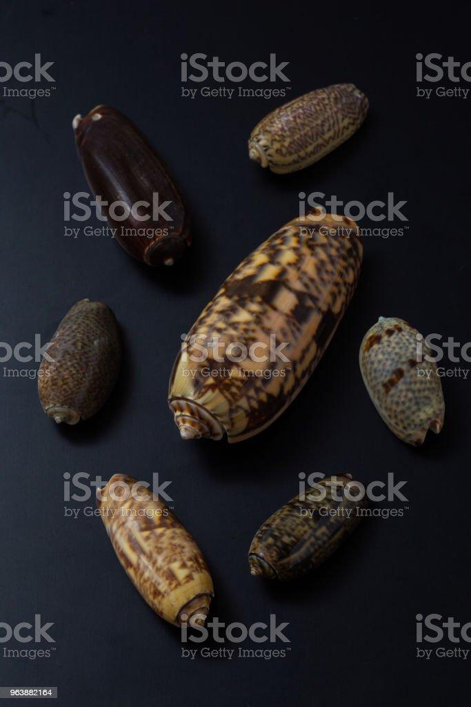 Oliva/Olividae family - Royalty-free Animal Shell Stock Photo