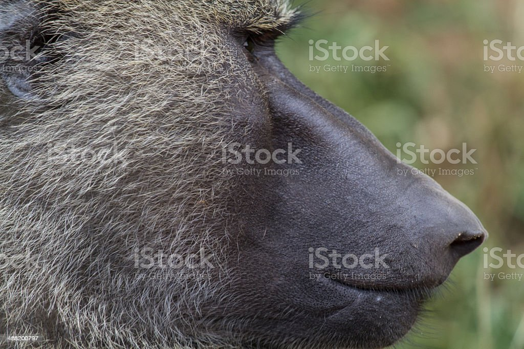 Olive Baboon close up stock photo