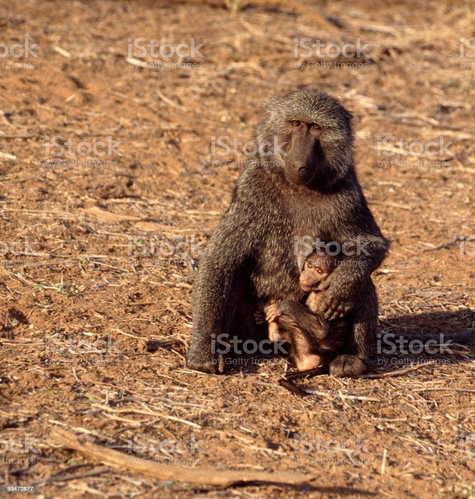Olive Baboon mother and suckling baby royalty-free stock photo