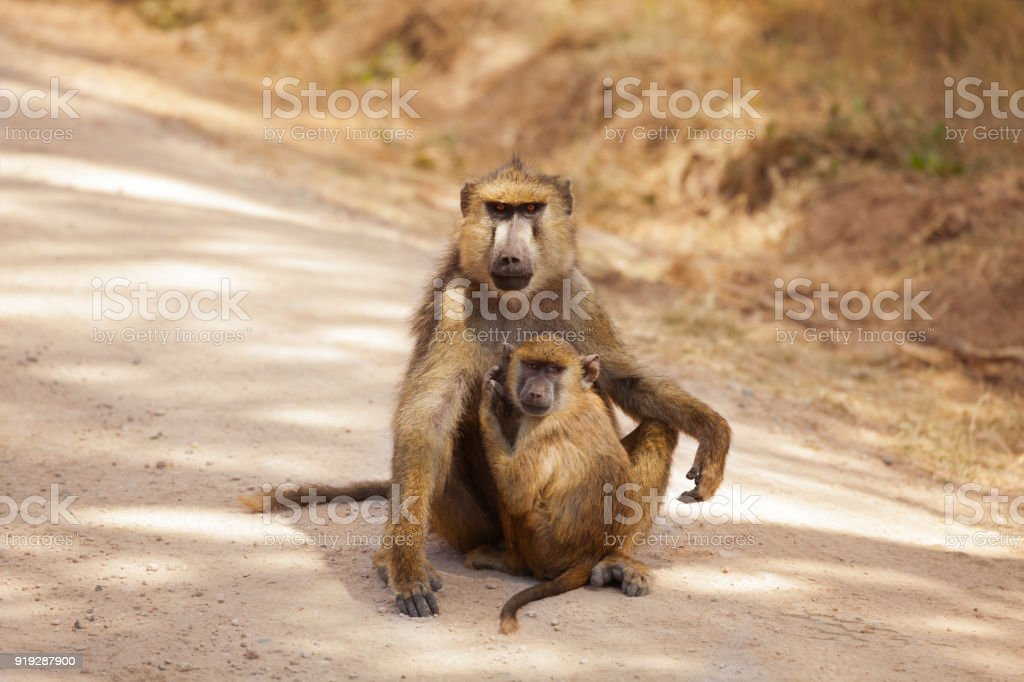 Olive Baboon mother with baby at African savannah stock photo