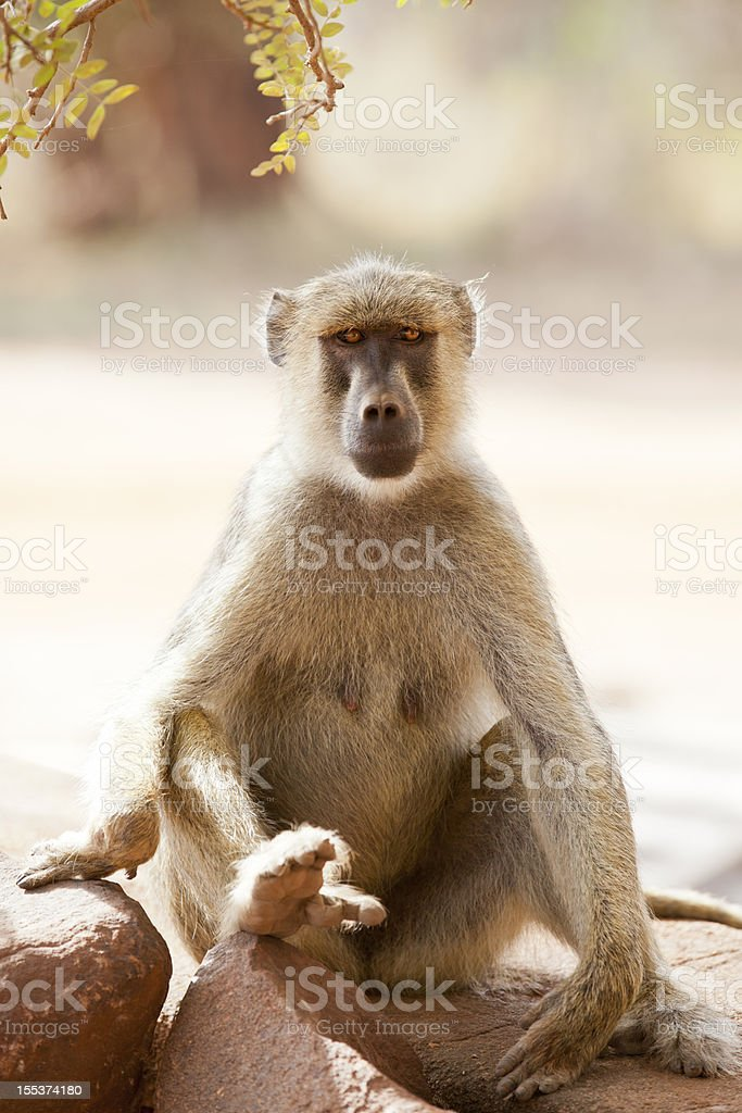 Olive Baboon Portrait royalty-free stock photo