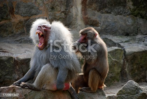 The Olive Baboon (Papio anubis) is a member of the family Cercopithecidae. The species is the most widely spread of all baboons: it is found in 25 countries throughout Africa, extending south from Mali to Ethiopia and to Tanzania. Isolated populations are also in some mountainous regions of the Sahara.