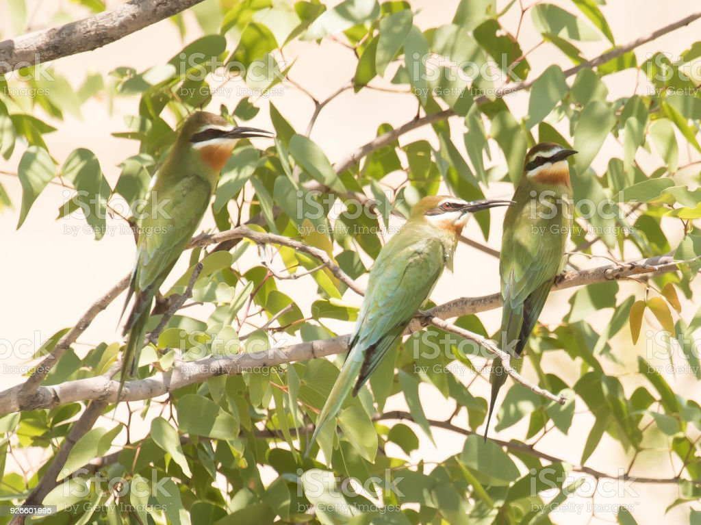Olive Bee-Eaters stock photo