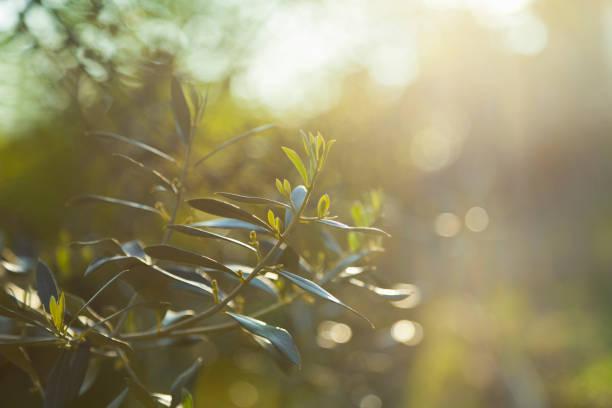 sfondo di olive branch - ramoscello d'ulivo foto e immagini stock