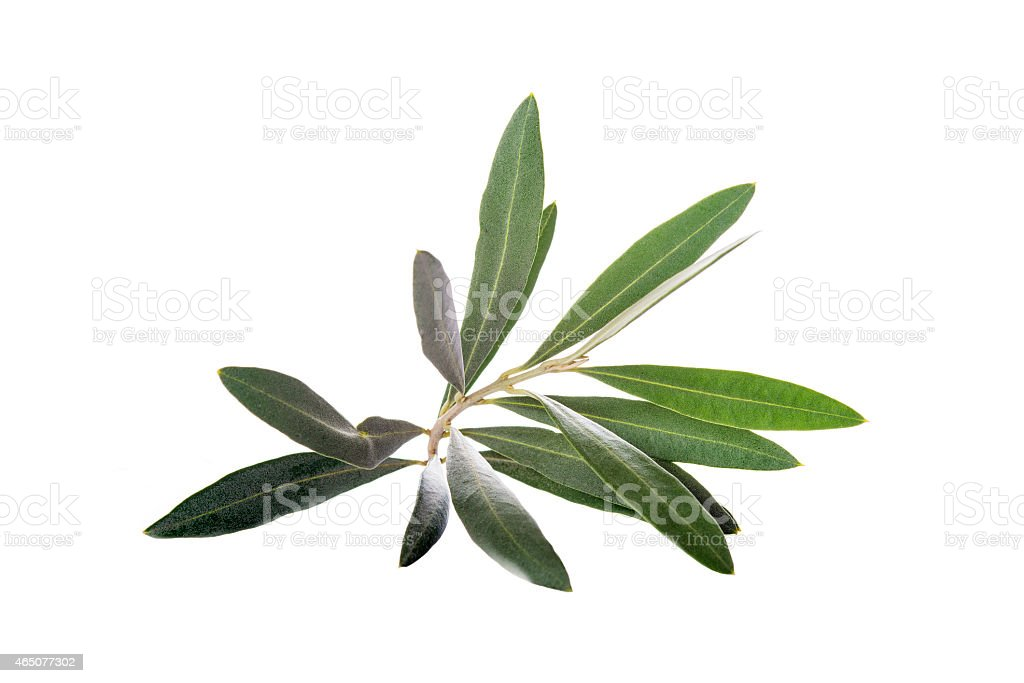 Olive branch isolated on a white background stock photo