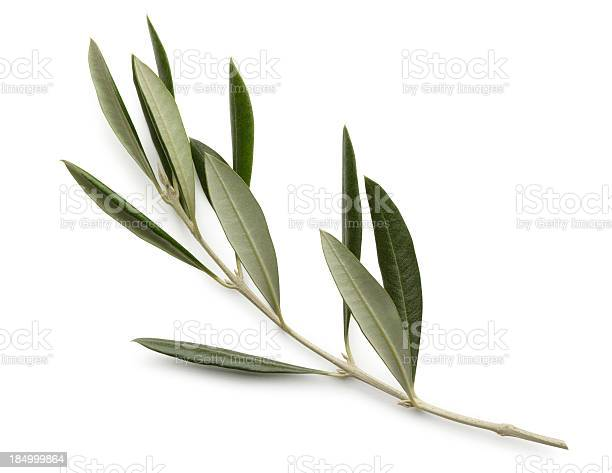 Olive branch isolated on white background picture id184999864?b=1&k=6&m=184999864&s=612x612&h=luujl4kvrtmjx2cc3mvjj0yjohk5oofmwh7wafph jm=